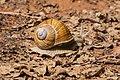 Helix pomatia in Aveyron (3).jpg