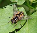 Helophilus pendulus (Common Tiger Hoverfly) - Flickr - S. Rae (7).jpg