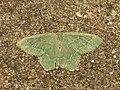 Hemithea aestivaria (14479125344).jpg