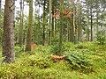 Herbstwald bei Sankt Englmar.jpg