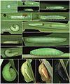 Hermeuptychia sosybius life history.jpg