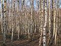 Herne Halde Constantin birches.jpg