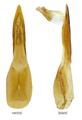 Heterothops praevius Erichson, 1839 Genital.png