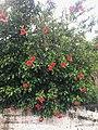Hibiscus rosa-sinensis, Taichung, Taiwan.jpg