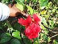 Hibiscus schizopetalus pagoda-3-yercaud-salem-India.JPG