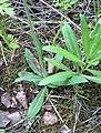 Hieracium cymosum Viuhkokeltano VI08 C H5738.jpg