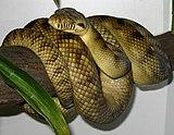High-Yellow Sorong Amethystine Scrub Python (Morelia amethistina).jpg