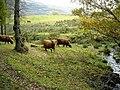 Highland Cattle Near Kinlochard - geograph.org.uk - 1035198.jpg