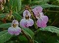 Himalayan Balsam - Balsamina ghiandolosa (Impatiens glandulifera) (8000090518).jpg