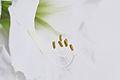 Hippeastrum, weißer Ritterstern 1.JPG