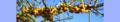 Hippophae rhamnoides. Reader.png