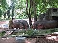 Hippopotamus - നീർക്കുതിര 03.JPG