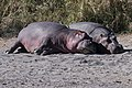 Hippopotamuses (28150032542).jpg