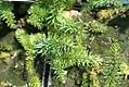 Hippuris vulgaris 9zz.jpg