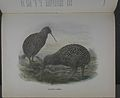 History of the birds of NZ 1st ed p368-2.jpg