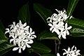 Holarrhena pubescens 1DS-II 2-5990.jpg