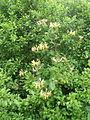 Honeysuckle (Lonicera periclymenum) - geograph.org.uk - 466189.jpg