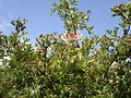 Honeysuckle - Lonicera periclymenum - geograph.org.uk - 1165582.jpg