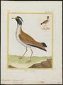 Hoplopterus tectus - 1700-1880 - Print - Iconographia Zoologica - Special Collections University of Amsterdam - UBA01 IZ17200167.tif