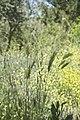 Hordeum vulgare-3043.jpg