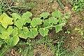 Horngurke - Kiwano - Cucumis metuliferus im Garten, flach 06 ies.jpg