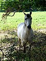 Horse having a bad fly day - geograph.org.uk - 223551.jpg