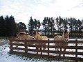 Horses beside Entrance to Holiday Chalets - geograph.org.uk - 1070918.jpg