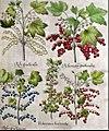 Hortus Eystettensis currants.jpg
