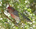 House Finch. Carpodacus mexicanus - Flickr - gailhampshire (1).jpg