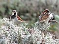 House Sparrows in the dune scrub near Crissy Marsh.jpg
