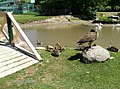 How do the Canada Geese get to the Other Side - panoramio.jpg