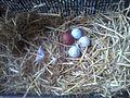 Huevos marans 2.jpg