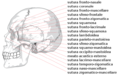 Human skull side suturas right-IT.png