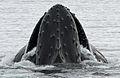 Humpback whale Fournier Bay Robert Pitman NOAA PS9.jpg