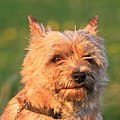 Hund-7236 - Flickr - Ragnhild & Neil Crawford.jpg