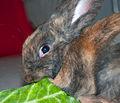 Hungry rabbit (8090951453).jpg