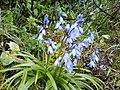 Hyacinthoides hispanica .jpg
