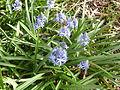 Hyacinthoides italica in Jardin des Plantes.JPG