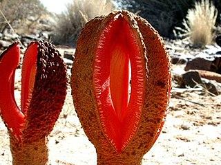 <i>Hydnora africana</i> species of plant