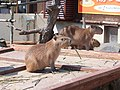 Hydrochoerus hydrochaeris in Akita Omoriyama Zoo 20170326.jpg