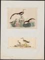 Hydrophasianus chirurgus - 1700-1880 - Print - Iconographia Zoologica - Special Collections University of Amsterdam - UBA01 IZ17500293.tif