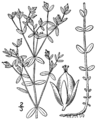 Hypericum boreale BB-1913.png