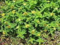 Hypericum foliosum (3).JPG
