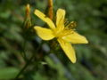 Hypericum montanum08.jpg