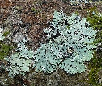 Hypogymnia - Image: Hypogymnia physodes 010108