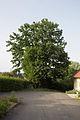 ID 1347 Quercus.jpg