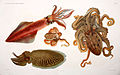I Cefalopodi viventi nel Golfo di Napoli (sistematica) (6105705787).jpg