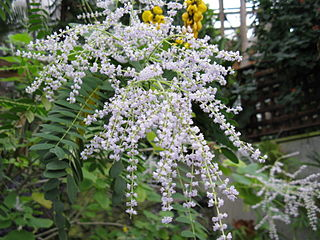 <i>Tetradenia</i> genus of plants