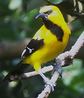 Yellow oriole species of bird