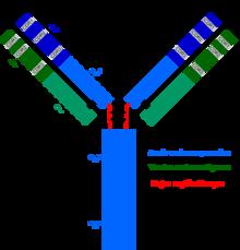 células T citotóxicas y diabetes tipo 1